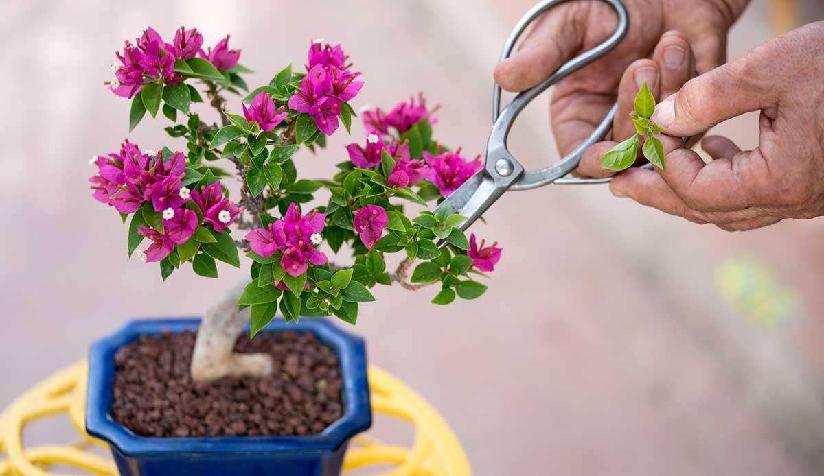 Cultivate A Bougainvillea Bonsai Phoenix Home Garden