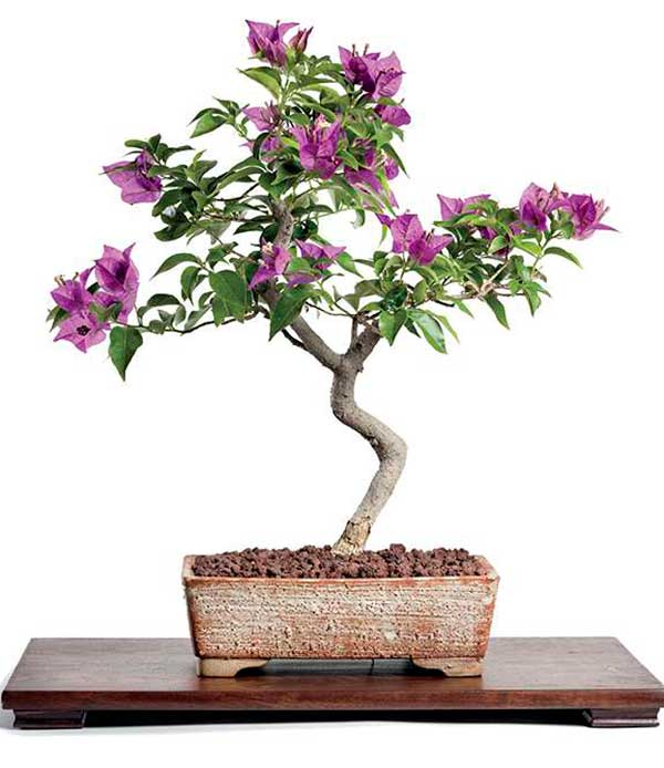 Cultivate A Bougainvillea Bonsai Phoenix Home Garden