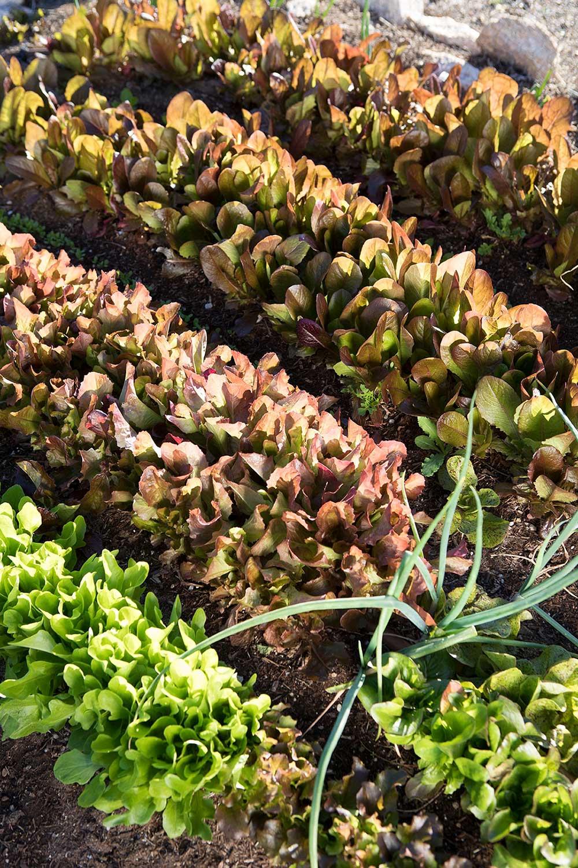 An Organic, Edible Garden in the Desert - Phoenix Home & Garden