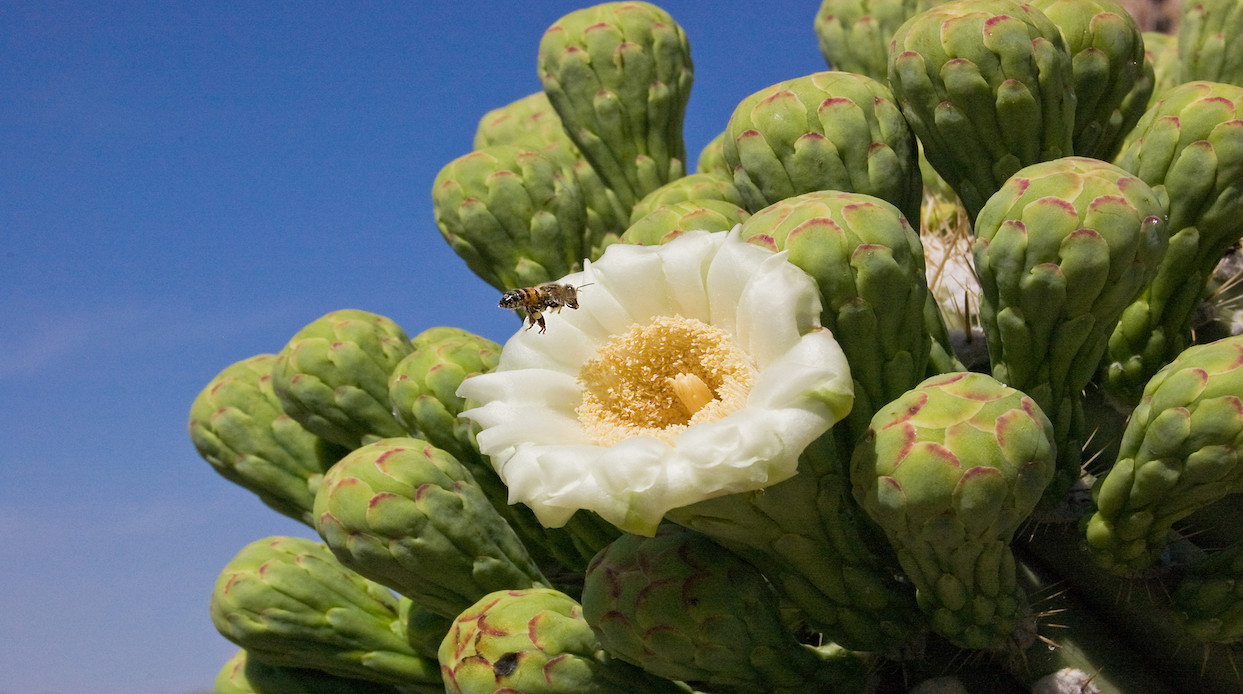 Bee pollinating a cactus flower